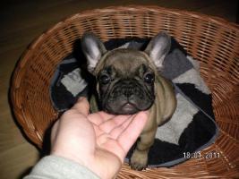 Foto 3 Franz. Bulldogge