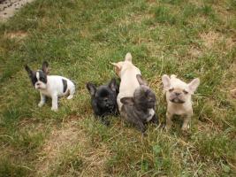 Foto 2 Franz.Bulldoggen Welpen choco