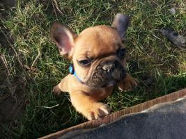 Foto 2 Franz. Bulldoggenwelpen mit Ahnentafel, Chip, Gesundheitszeugnis,