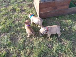Foto 3 Franz. Bulldoggenwelpen mit Ahnentafel, Chip, Gesundheitszeugnis,
