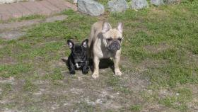 Foto 2 Franz. Bulldoggewelpen!