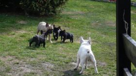 Foto 5 Franz. Bulldoggewelpen!