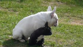 Foto 6 Franz. Bulldoggewelpen!