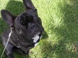 Französiche Bulldoge 1 jahr männlich names roco