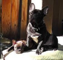 Foto 3 Französisch Bulldog Welpen zu verkaufen