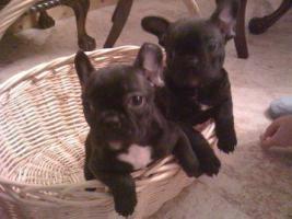 Französisch Bulldog Welpen zu verkaufen