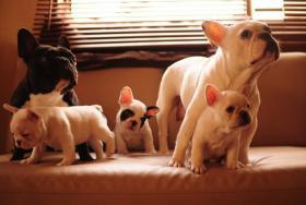 Foto 2 Französisch Bulldog Welpen zu verkaufen