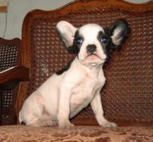 Französisch Bulldogg Welpen, Freiatmend