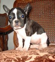 Foto 2 Französisch Bulldogg Welpen, Freiatmend
