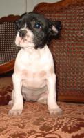 Foto 3 Französisch Bulldogg Welpen, Freiatmend