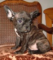 Foto 4 Französisch Bulldogg Welpen, Freiatmend