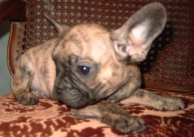 Foto 5 Französisch Bulldogg Welpen, Freiatmend