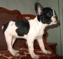 Foto 6 Franz�sisch Bulldogg Welpen, Freiatmend
