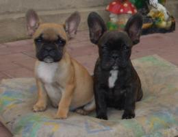 Französisch Bulldogg, noch 4 Welpen Hündinen