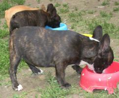 Foto 2 Französisch Bulldogg, noch 4 Welpen Hündinen