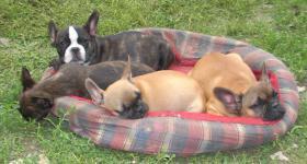 Foto 3 Französisch Bulldogg, noch 4 Welpen Hündinen