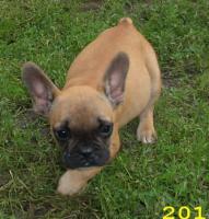 Foto 4 Französisch Bulldogg, noch 4 Welpen Hündinen