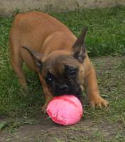 Foto 5 Franz�sisch Bulldogg, noch 4 Welpen H�ndinen
