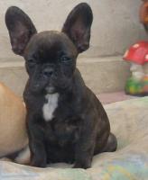 Foto 6 Französisch Bulldogg, noch 4 Welpen Hündinen
