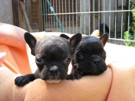 Foto 2 Französische Bulldog Welpen