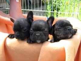 Foto 3 Französische Bulldog Welpen