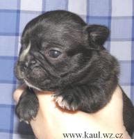 Foto 2 Französische Bulldoge mit Stammbaum FCI