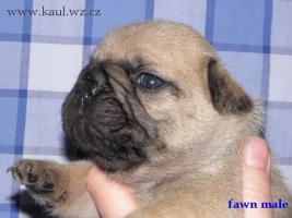 Foto 3 Französische Bulldoge mit Stammbaum FCI