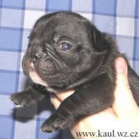Foto 4 Französische Bulldoge mit Stammbaum FCI