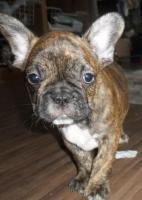 Französische Bulldoge - 5 schöne Welpen
