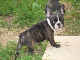 Foto 2 Französische Bulldoge - 5 schöne Welpen