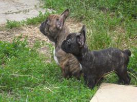 Foto 3 Französische Bulldoge - 5 schöne Welpen