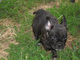 Foto 4 Französische Bulldoge - 5 schöne Welpen