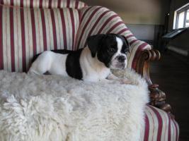 Foto 5 Französische Bulldogge