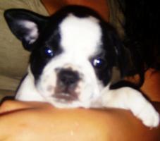 Franz�sische Bulldogge