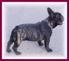 Foto 4 Französische Bulldogge