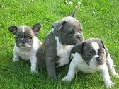 Foto 3 Französische Bulldogge Blau