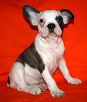 Foto 3 Französische Bulldogge Blau Schecke mit Papiere