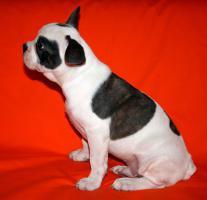Foto 4 Französische Bulldogge Blau Schecke mit Papiere