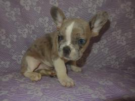 Französische Bulldogge Bluemerle Rüde
