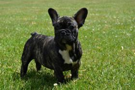 Französische Bulldogge mit Herkunftsausweis