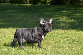Foto 2 Französische Bulldogge mit Herkunftsausweis