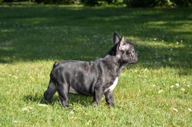 Foto 3 Französische Bulldogge mit Herkunftsausweis