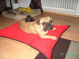 Foto 3 Französische Bulldogge/Mops-mix