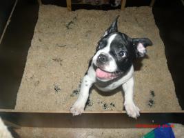 Foto 5 Französische Bulldogge mit Papiere