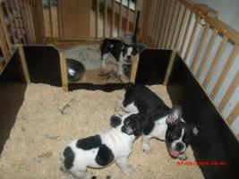 Foto 6 Französische Bulldogge mit Papiere