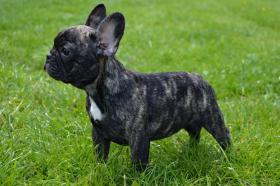Foto 2 Französische Bulldogge mit Papiere