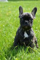 Foto 3 Französische Bulldogge mit Papiere