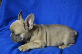 Foto 2 Französische Bulldogge mit Papiere – in Farbe blau, lavendel, weiß-blau