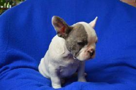 Foto 3 Französische Bulldogge mit Papiere – in Farbe blau, lavendel, weiß-blau