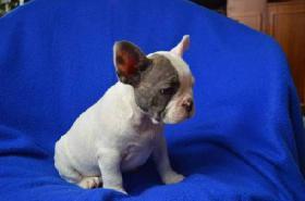 Foto 4 Französische Bulldogge mit Papiere – in Farbe blau, lavendel, weiß-blau